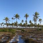 Palmiers à Bahia Brésil