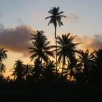 Palmiers Brésil
