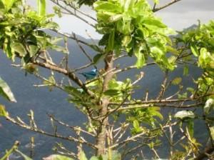 Oiseau bleu _Rio